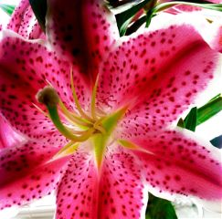 flower beautiful lilly