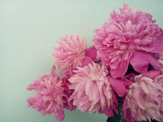 freetoedit remixme flowers pione pink