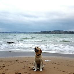 teo labrador labradorretriever dogs beach