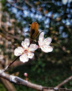 cherryblossom beautifulflowers beautifulnature nature spring