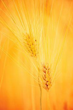 grass autumn ricepady fall rice harvest