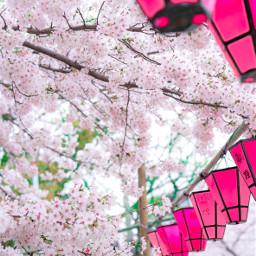 cherryblossom sakura osaka nature cherryblossom2017