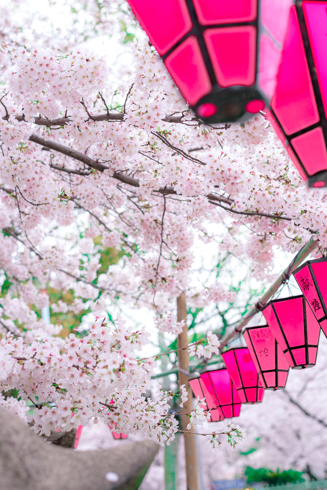 Sakura 2017This season in Japan make you smile. Just taking a small walk.#cherryblossom #sakura #osaka #nature #桜 #サクラ #花 #桜2017 #五分咲き #綺麗 #自然 #cherryblossom2017 #cherryblossoms #cherryblossomtree #cherryblossomfestival #cherryblossomview #cherryblossomlove #japan #lantern #pink
