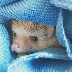 hedgehog animals petsandanimals